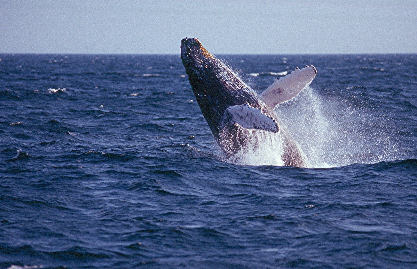 Humpback Whale  - Massachusetts