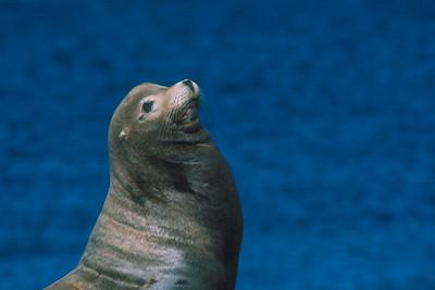 California Sea Lion - California