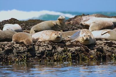 Harbor Seals - California