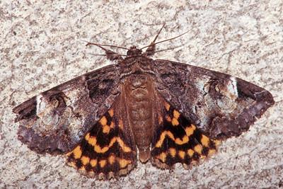 Locust Underwing - Pittsburgh, Pennsylvania