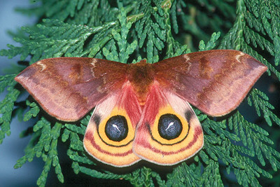 Io Moth - Pittsburgh, Pennsylvania