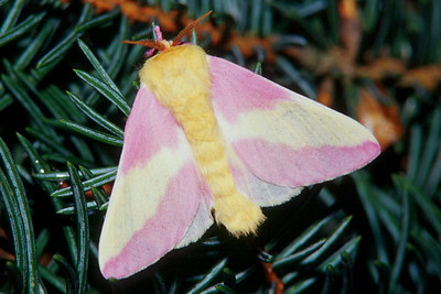 Rosy Maple Moth - Pittsburgh, Pennsylvania