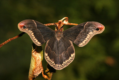 Promethia Moth - Pittsburgh, Pennsylvania