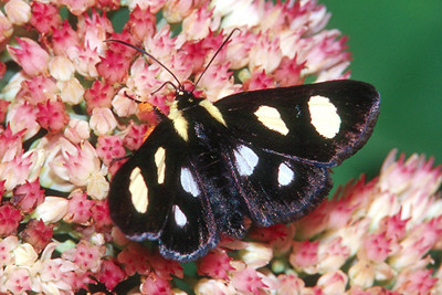 Eight-spotted Forester Moth - Pittsburgh, Pennsylvania