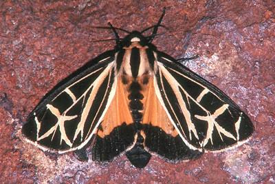 Virgin Tiger Moth - Pittsburgh, Pennsylvania