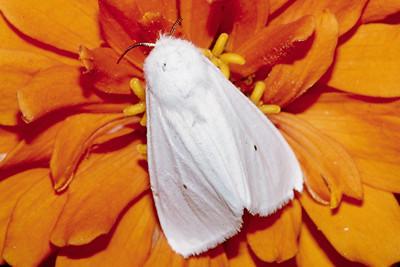 Virginia Tiger Moth - Pittsburgh, Pennsylvania