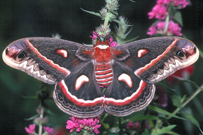 Cecropia Moth - Pittsburgh, Pennsylvania