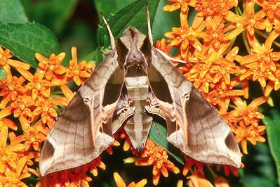 Pandorus Sphinx Moth - Pittsburgh, Pennsylvania