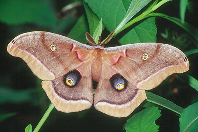 Polyphemus Moth - Pittsburgh, Pennsylvania