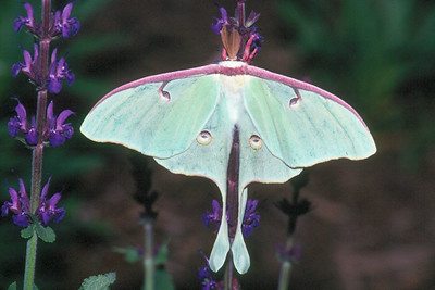 Luna Moth - Pittsburgh, Pennsylvania