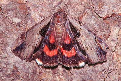Ultronia Underwing Moth - Pittsburgh, Pennsylvania