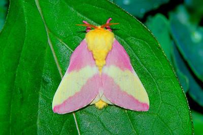 Rosy Maple Moth - Pittsburgh, Pennsylvania