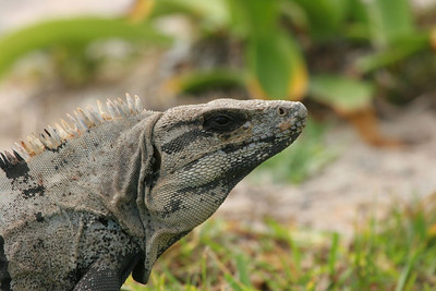 Land Iguana - Mexico