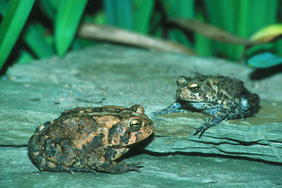 American Toads - Pennsylvania