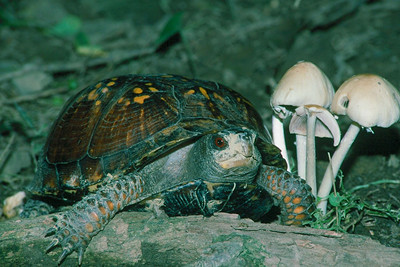 Box Turtle - Pennsylvania