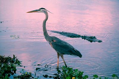 American Alligator - Florida