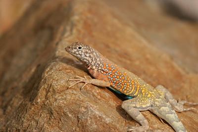 Greater Earless Lizard - Arizona