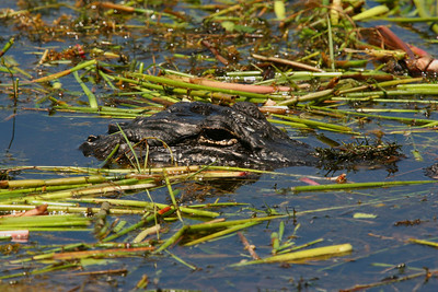 American Alligator - Florida