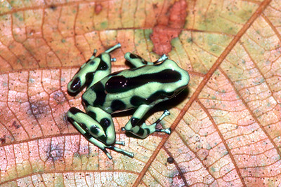 Green and Black Poison Arrow Frog - Costa Rica