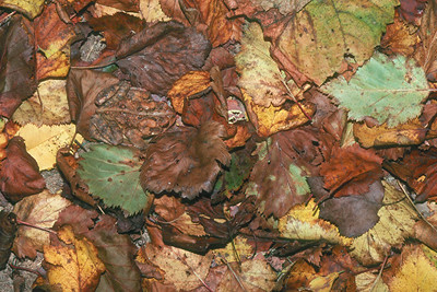American Toad - Pennsylvania