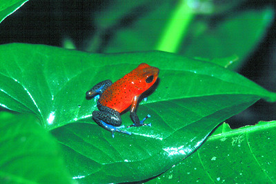 Strawberry Poison Arrow Frog - Costa Rica