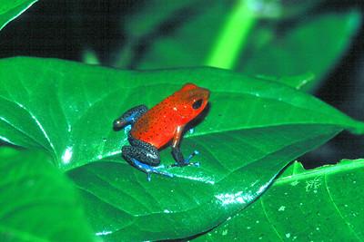 Strawberry Poison Arrow Frog - Costa Rica