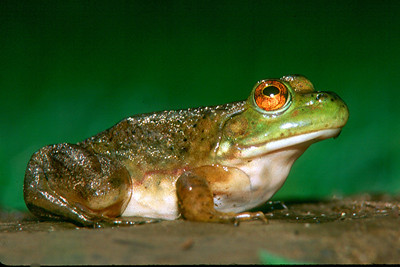 Bull Frog - Pennsylvania