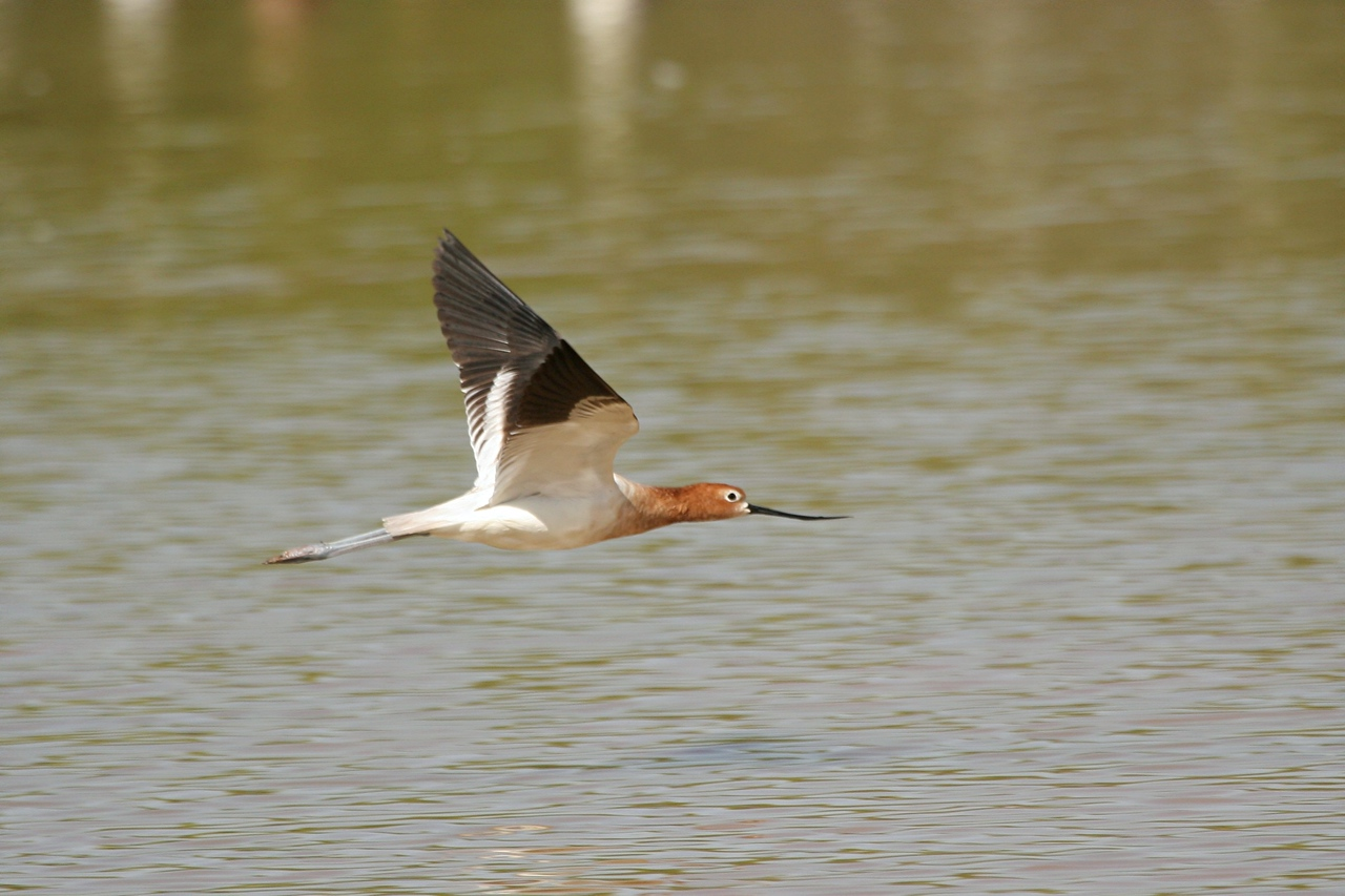 American Avocet - Arizona