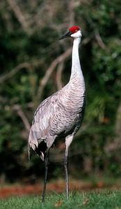 Sandhill Crane - Florida
