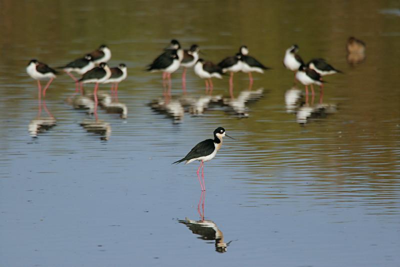 Black-necked Stilt - Arizona
