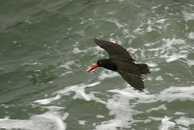 Black Oystercatcher - California