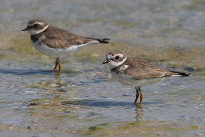 Semipalmated Plover - Florida