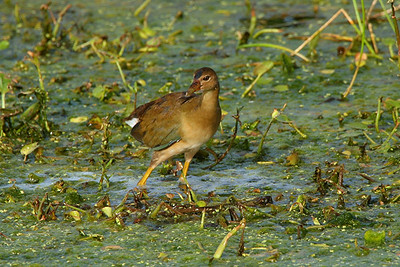 Purple Gallinule, female - Florida