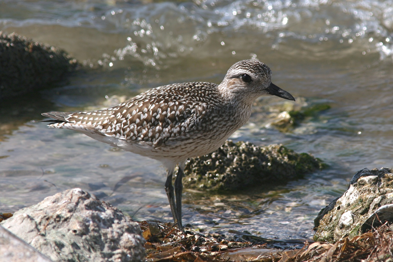 Black-bellied Plover - Florida