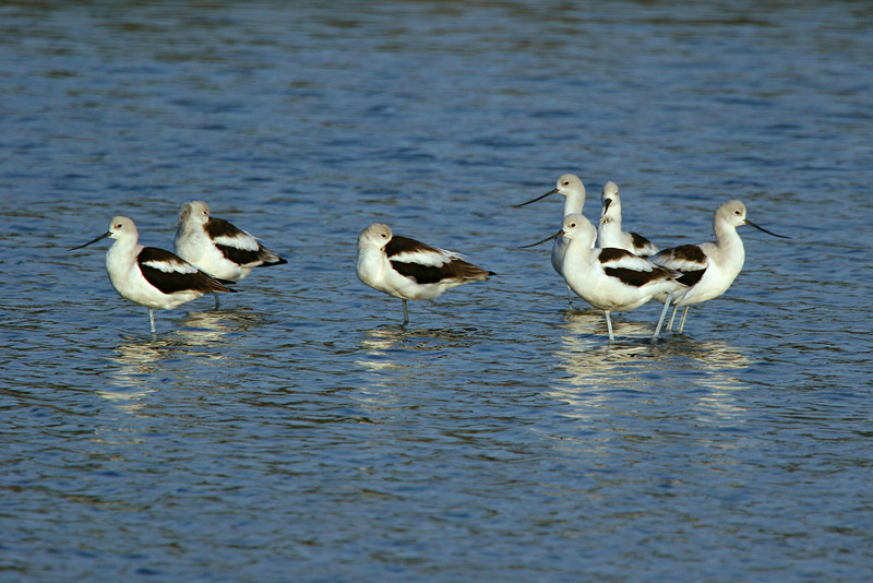 American Avocet - California