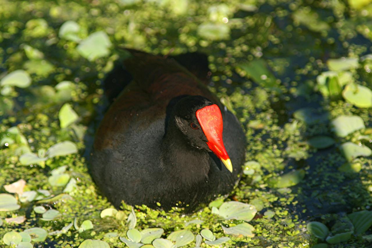 Common Moorhen - Florida
