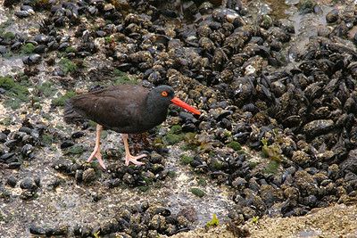 Black Oystercatcher - California
