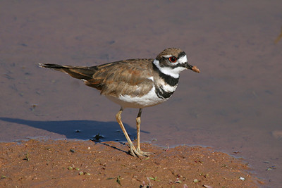 Killdeer - Arizona