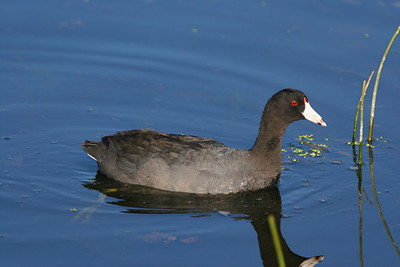 American Coot - Florida
