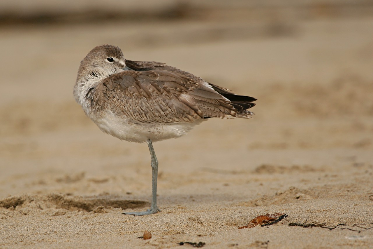 Willet, western - California
