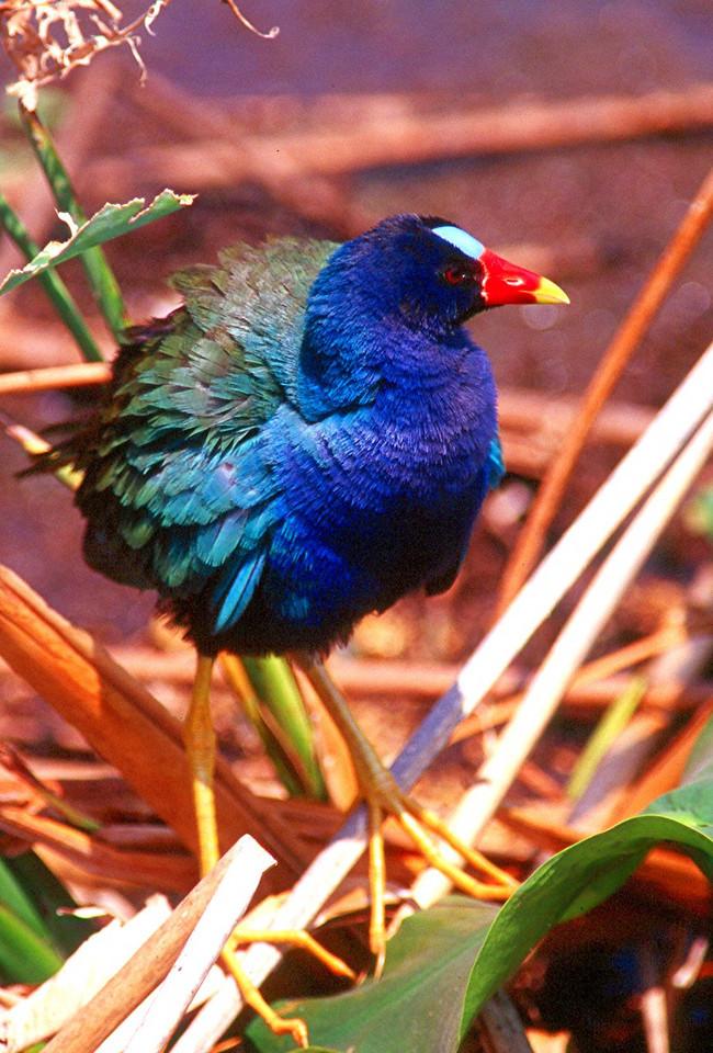 Purple Gallinule, male - Florida