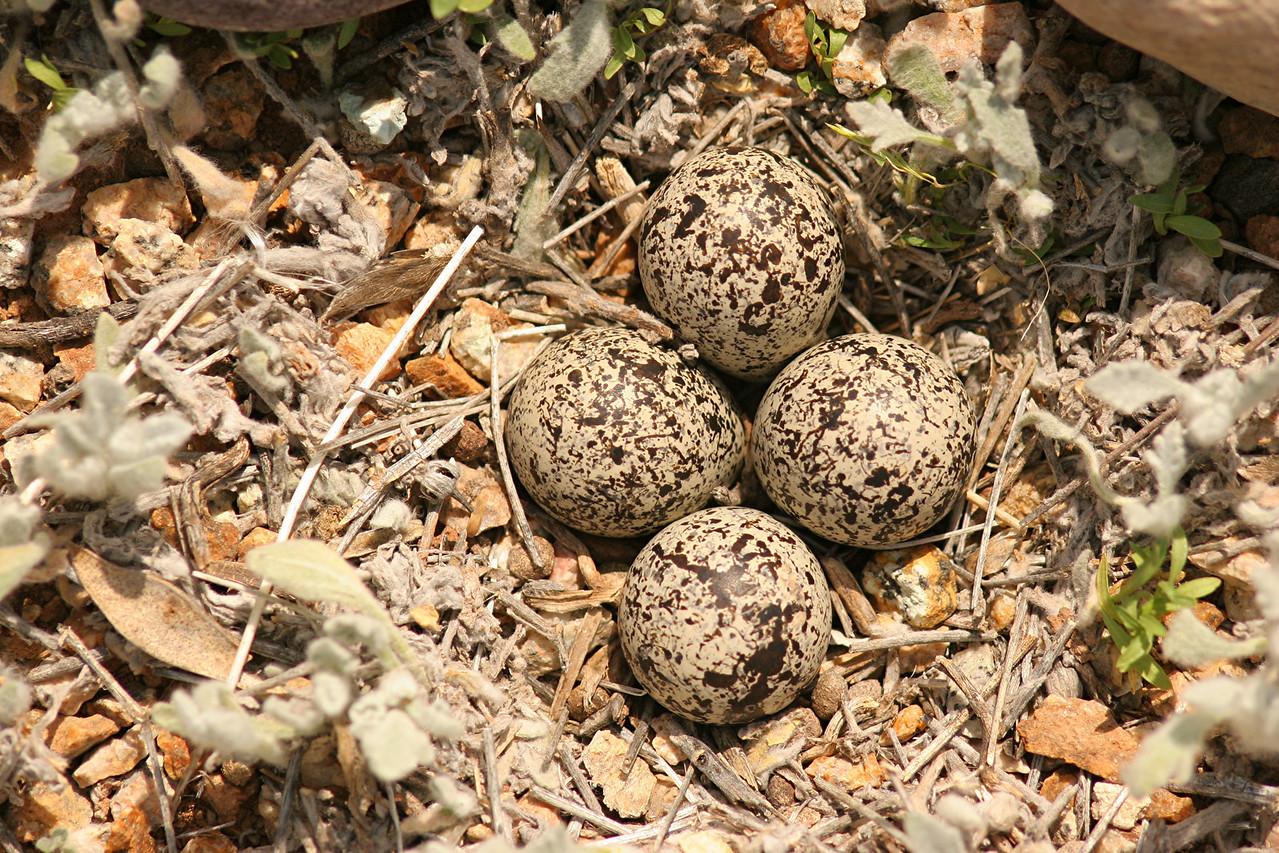 Killdeer, nest - Arizona