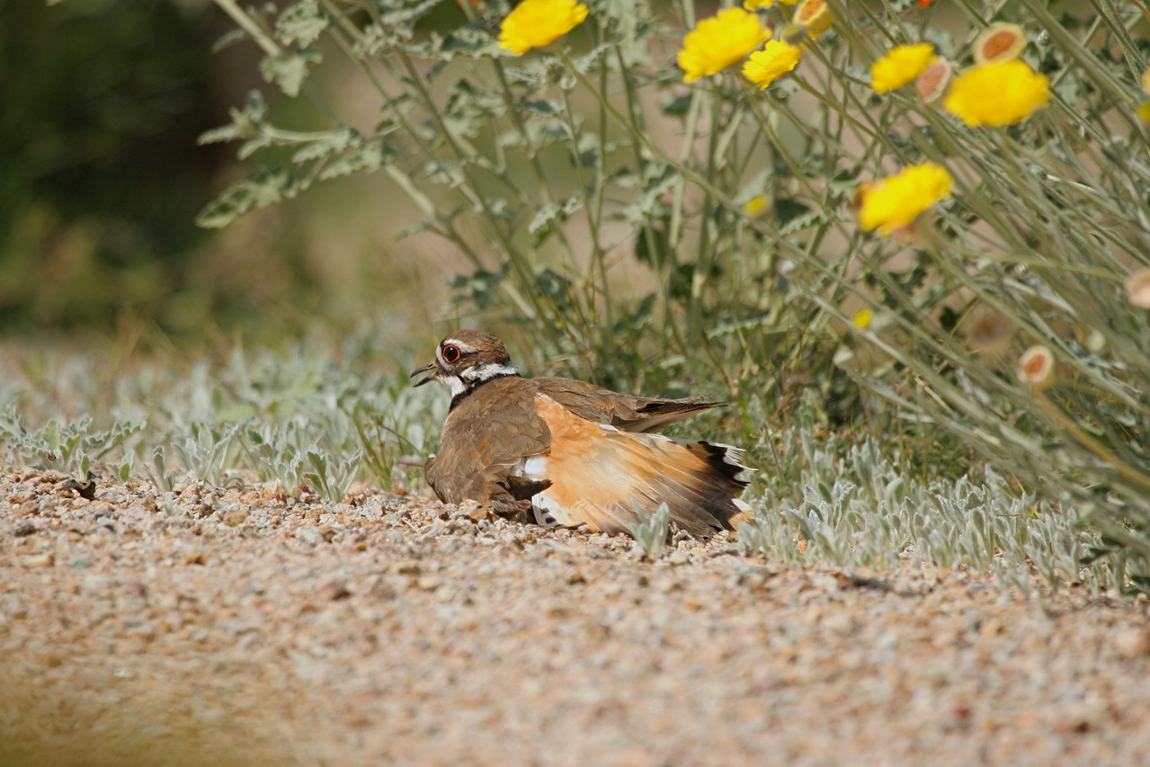 Killdeer, broken wing display - Arizona
