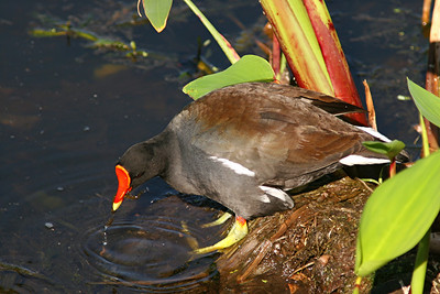 Common Moorhen - Florida
