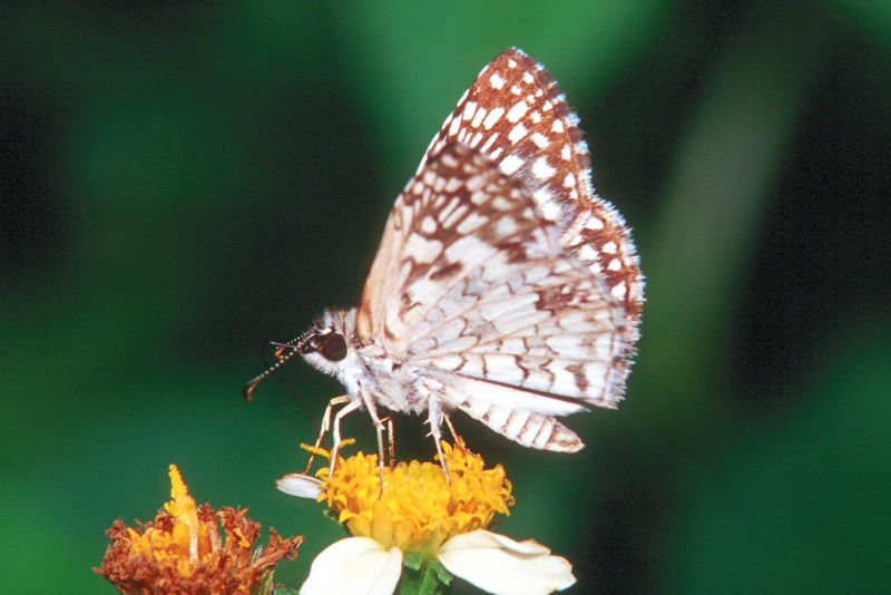 Tropical Checkered Skipper - Everglades National Park, Florida