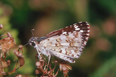 Common Checkered Skipper - Buffalo Creek, Pennsylvania