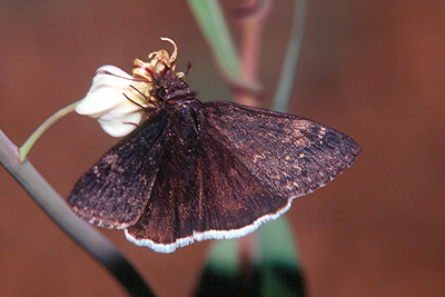 Funereal Duskywing - Saguaro National Monument, Arizona