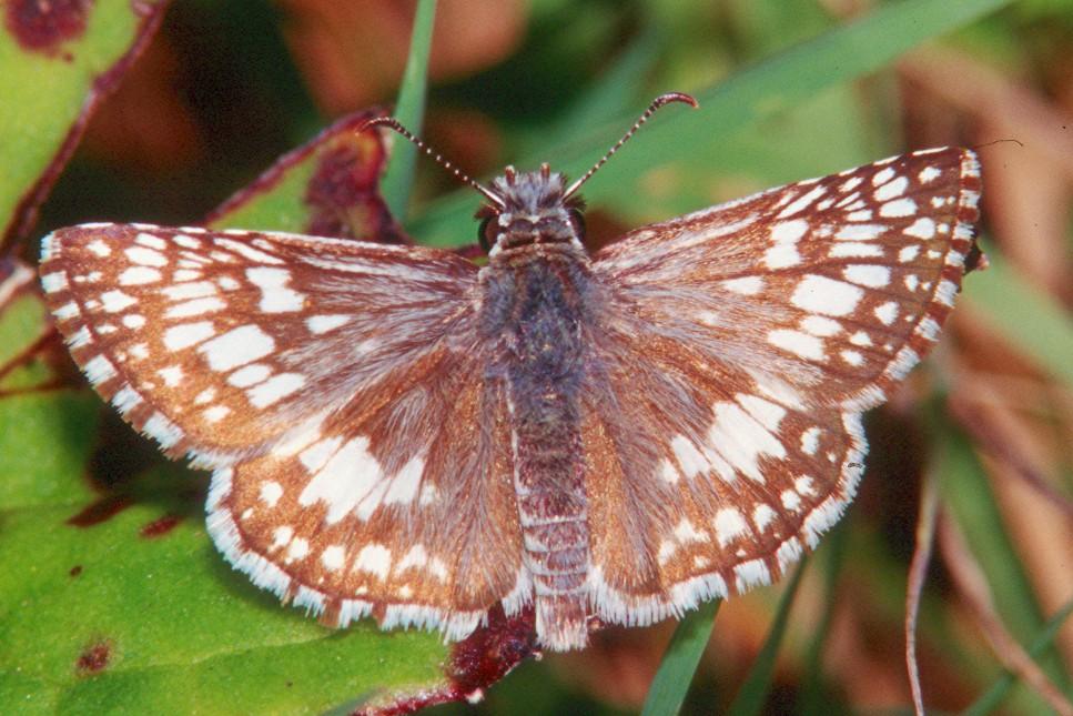Common Checkered Skipper - Mingo Creek, Pennsylvania