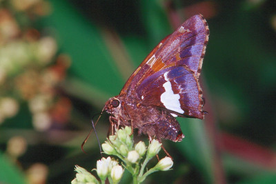 Silver-spotted Skipper - South Park, Pennsylvania