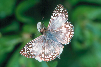 Tropical Checkered Skipper - Loxahatchee National Wildlife Refuge, Florida